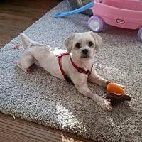 Adopt A Pet :: Scotty - Plainview, NY