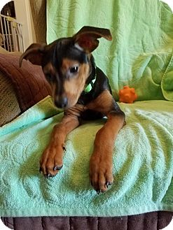 Manchester Terrier Mix Puppy for adoption in Harrisburg, Pennsylvania - Logan