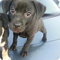 Adopt A Pet :: Violin 17 - Brookhaven, MS
