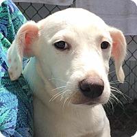 Adopt A Pet :: Allie - Orlando, FL