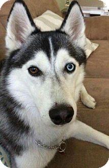 Siberian Husky Dog for adoption in Somonauk, Illinois - Nala