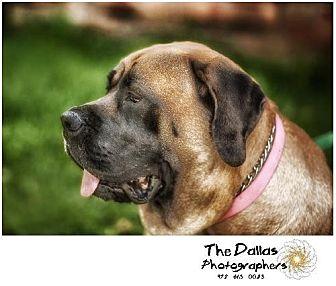 Mastiff Dog for adoption in Edmond, Oklahoma - Kimmy - Hospice