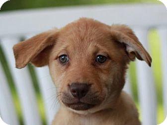 Labrador Retriever/Labrador Retriever Mix Puppy for adoption in Nanuet, New York - Sage - ADOPTION IN PROGRESS