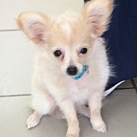 Chihuahua Puppy for adoption in Overland Park, Kansas - Molly
