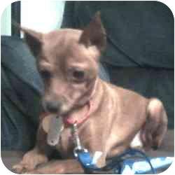 Miniature Pinscher Mix Dog for adoption in Greensboro, North Carolina - Mya