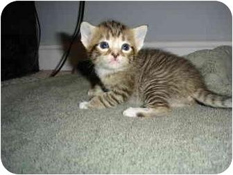 Norwegian Forest Cat Kitten for adoption in Annapolis, Maryland - Nala