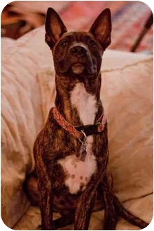 American Staffordshire Terrier Mix Puppy for adoption in Wilmington, North Carolina - WINSTON