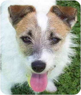 Jack Russell Terrier Dog for adoption in Phoenix, Arizona - JAYDA