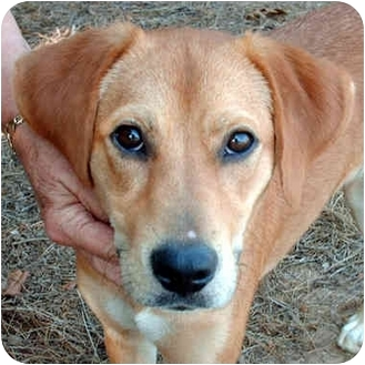 Labrador Retriever/Terrier (Unknown Type, Small) Mix Dog for adoption in McCormick, South Carolina - Scarlett