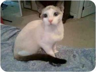 Snowshoe Cat for adoption in Jacksonville, Florida - Delilah