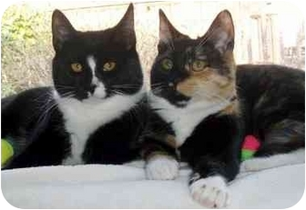 Domestic Shorthair Cat for adoption in Randolph, New Jersey - Harley and Hannha