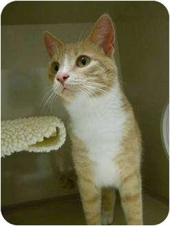 Domestic Shorthair Cat for adoption in Morden, Manitoba - Ava
