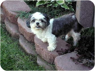 Shih Tzu Dog for adoption in Denver, Colorado - Annie