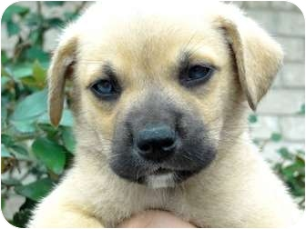 Great Pyrenees/Boxer Mix Puppy for adoption in Harper, Texas - Puppy#2