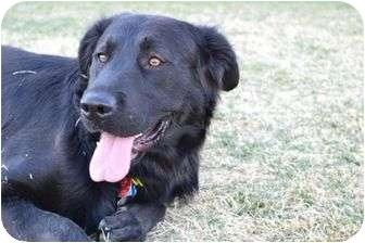 Golden Retriever Mix Dog for adoption in Denver, Colorado - Duke