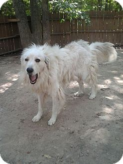 Great Pyrenees Dog for adoption in waterbury, Connecticut - Peaches