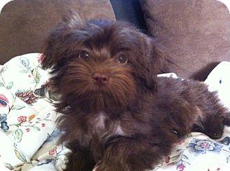 Havanese/Shih Tzu Mix Puppy for adoption in Nuevo, California - Chebaka