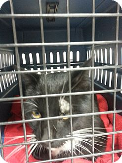 Domestic Shorthair Cat for adoption in Walnut, Iowa - Sylvester