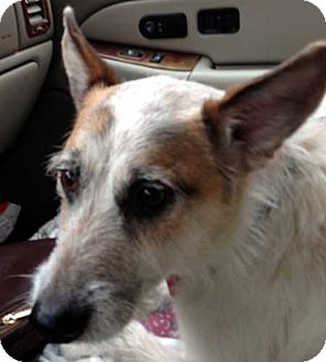 Jack Russell Terrier Mix Dog for adoption in Rhinebeck, New York - Rusty