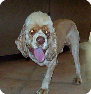 Cocker Spaniel Dog for adoption in Glastonbury, Connecticut - HARLEY
