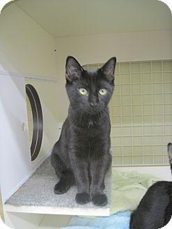 Domestic Shorthair Kitten for adoption in Fredericksburg, Virginia - Usher
