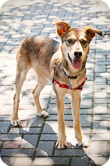 Shepherd (Unknown Type) Mix Dog for adoption in Jersey City, New Jersey - Sporty Spice