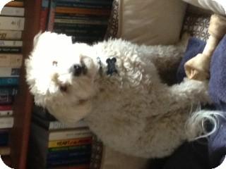 Bichon Frise Dog for adoption in Los Angeles, California - Colton