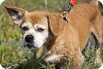 Pekingese/Pug Mix Dog for adoption in Albany, New York - Marley