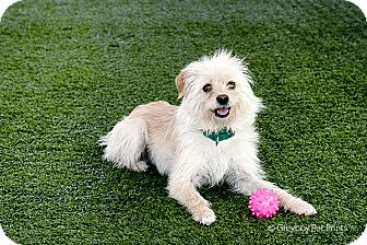 Terrier (Unknown Type, Small) Mix Dog for adoption in Mission Viejo, California - Colby