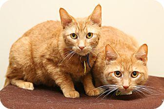 Domestic Shorthair Cat for adoption in Bellingham, Washington - Romy