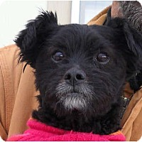 Affenpinscher/Terrier (Unknown Type, Small) Mix Dog for adoption in Littlerock, California - Jacques