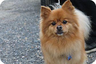 Pomeranian Mix Dog for adoption in Waldorf, Maryland - Pacha