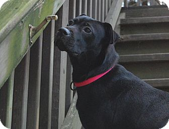 Labrador Retriever/American Pit Bull Terrier Mix Dog for adoption in Broadway, New Jersey - Lady