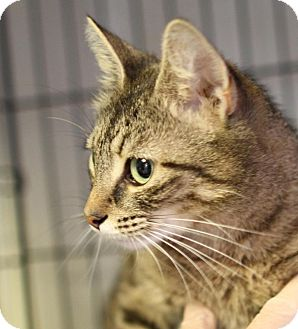 Domestic Shorthair Cat for adoption in Winston-Salem, North Carolina - Delilah