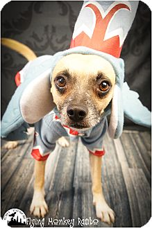 Chihuahua/Terrier (Unknown Type, Small) Mix Dog for adoption in Phoenix, Arizona - Rambo