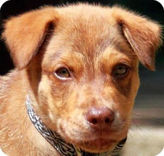 Australian Shepherd Mix Dog for adoption in Cary, North Carolina - Calvin--ADOPTED