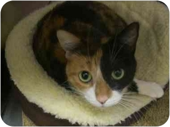 Domestic Shorthair Cat for adoption in LosAngeles, California - Gabby