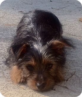 Yorkie, Yorkshire Terrier Puppy for adoption in Fairview Heights, Illinois - Malcolm