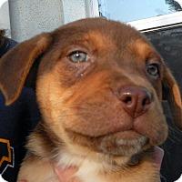 Adopt A Pet :: Baby Peppermint Pattie - Oakley, CA