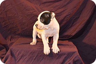 American Staffordshire Terrier Mix Puppy for adoption in Garden City, Michigan - Cody