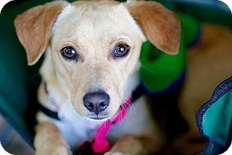 Dachshund/Beagle Mix Dog for adoption in Los Angeles, California - Hannah
