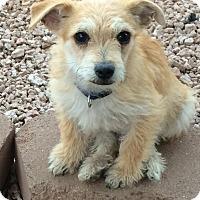 Adopt A Pet :: Taco - Phoenix, AZ