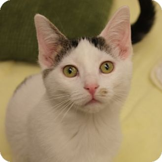 Domestic Shorthair Kitten for adoption in Naperville, Illinois - Bernie