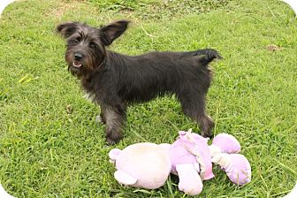 Terrier (Unknown Type, Small) Mix Puppy for adoption in Newark, New Jersey - Trixie