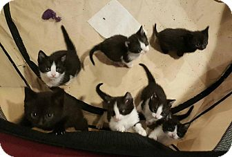 Domestic Shorthair Kitten for adoption in Oxford, Connecticut - The 7 Dwarfs