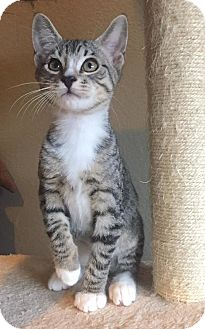 Domestic Shorthair Kitten for adoption in Fort Worth, Texas - Squiggy