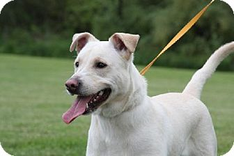 Labrador Retriever/Shepherd (Unknown Type) Mix Dog for adoption in Winfield, Pennsylvania - Kiiro