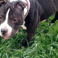 Adopt A Pet :: Tank - Benton, PA