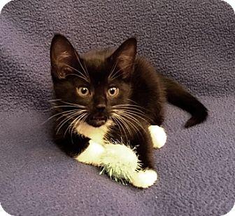 Domestic Shorthair Kitten for adoption in Templeton, Massachusetts - Sandals