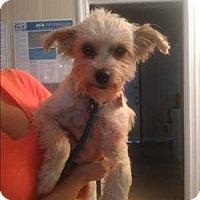 Adopt A Pet :: Georgie - Encino, CA